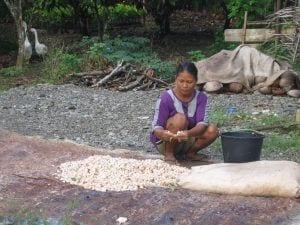 Trocknung von Kakaobohnen in der Provinz Gorontalo, Indonesien, mitten im Regenwald