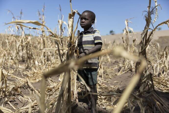 Die Ernte auf diesem Maisfeld eines Schulgartens in Salima (Malawi) fiel 2016 wegen einer Dürre nahezu komplett aus. Die Folgen: Hunger. © Grossmann/ Welthungerhilfe