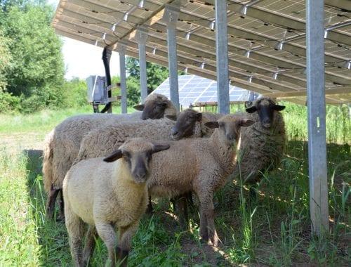 Schafe unter Solaranlagen im PV-Park Oberreidenbach